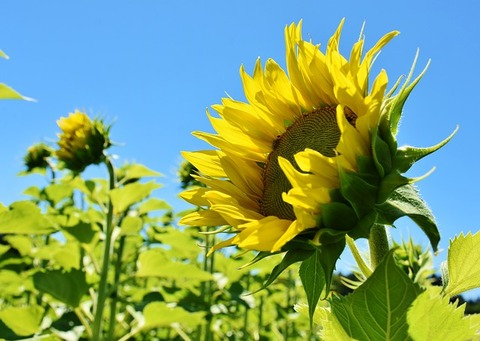 sunflower-3514915_640