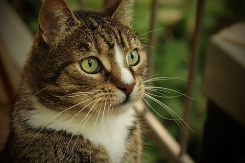 domestic-cat-4246593_640