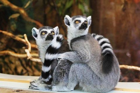 lemurs-1010643_640