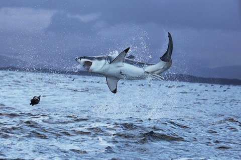 great-white-shark-5217363_640