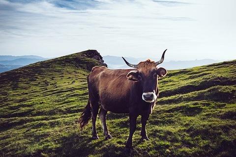 cow-1246855_640