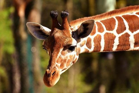 giraffe-2222908_640