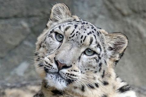 snow-leopard-1990543_640