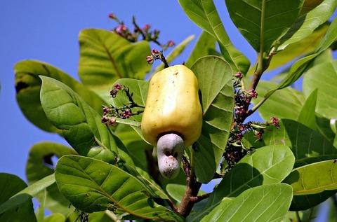 cashew-nuts-322556_640