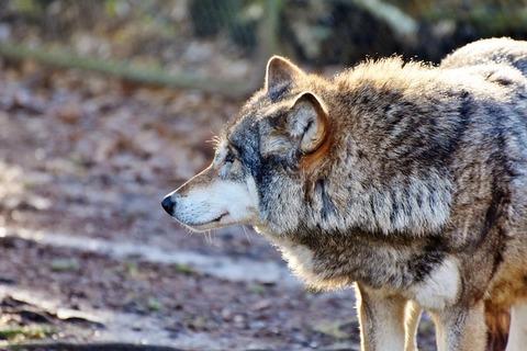 wolf-3216164_640