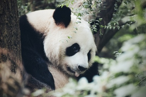 panda-4478089_640