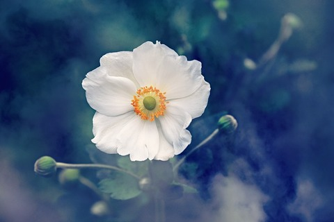 anemone-3616880_640