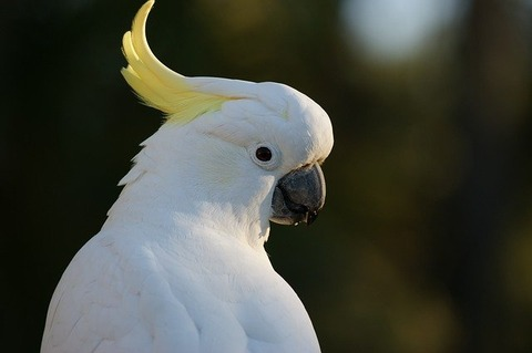 cockatoo-583921_640