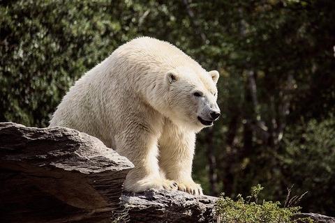 polar-bear-3949635_640