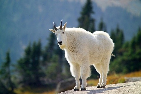 mountain-goat-3917628_640