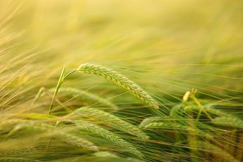 barley-2117454_640