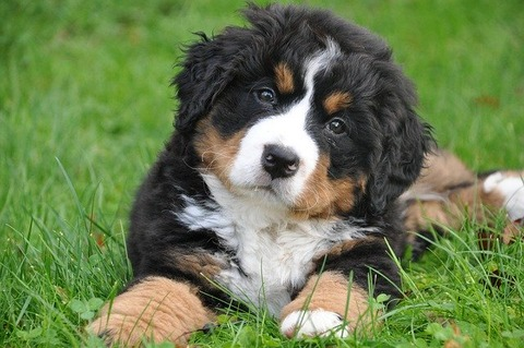 bernese-mountain-dog-1177074_640
