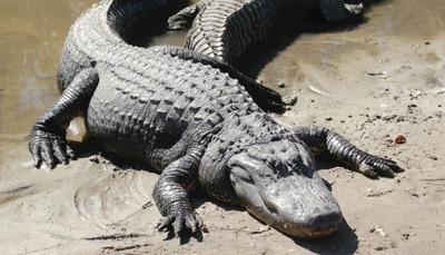 Alligator4