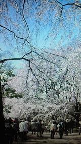 六義園 枝垂れ桜2