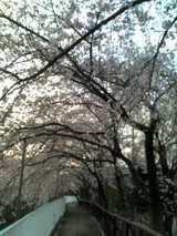 六義園 桜