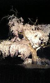 円山公園桜2