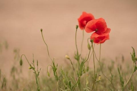 poppy-5261596_640