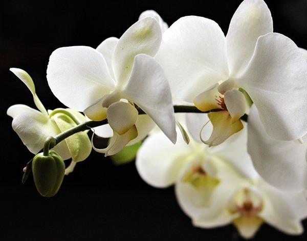 orchids-2055193_640