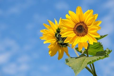 sunflower-4298808_640.jpg  ひまわり