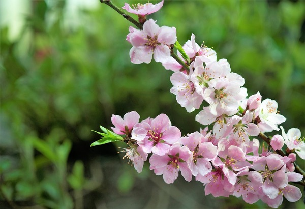 peach-blossom-3289242_1280