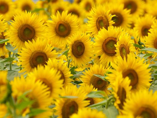 sunflower2