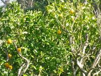 オレンジツリー2