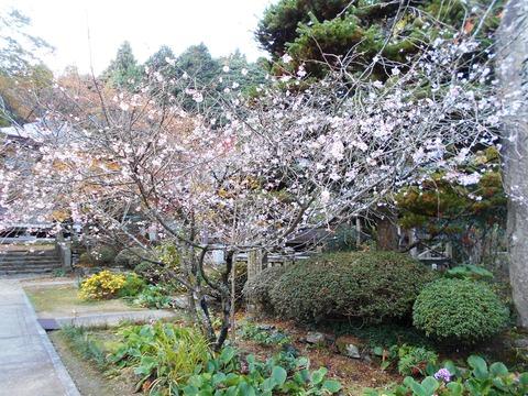 65番三角寺(季節桜)