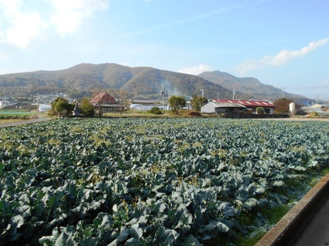 霊山参り(キャベツ畑)