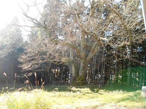 仙龍寺への道2(馬場の桜)