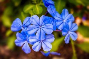 jasmine-blue-3687453_1920