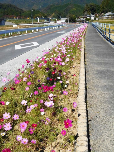 42番への道(コスモス街道)