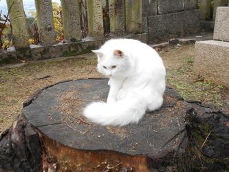琴弾八幡宮の白猫