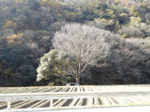 霊山参り(畑の中の立木)