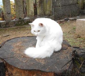 琴弾八幡宮白猫