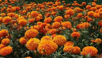 marigold-320668_1280