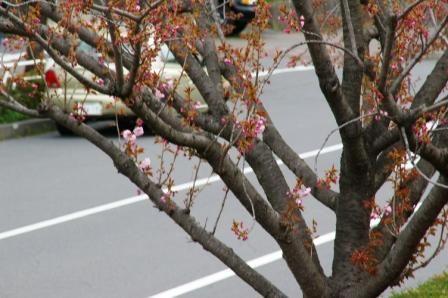 店前の八重桜 蕾