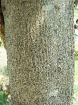 ピンク・トランペット・トゥリー(樹肌)