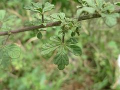 ヒメフウチョウソウ/Cleome viscosa (葉)
