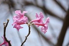 タベブイア・インペティギノーサ(花)