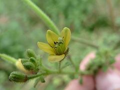 ヒメフウチョウソウ/Cleome viscosa(花)