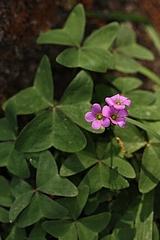 オキザリス・ラティフォリア/Oxialis latifolia(全体)