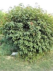 レッドベルブッシュ(木全体)