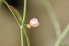 ルメクス・ハストゥス/Rumex hastatus (花)