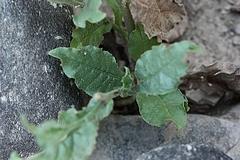ニコティアナ・プルンバギニフォリア(葉の様子)
