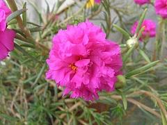 マツバボタン(花)