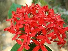 ベニデマリ(花)