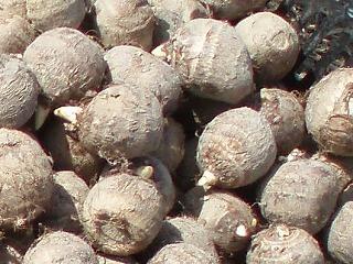 里芋の種いも