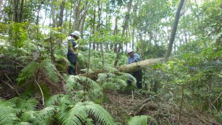 P1030335カワセミコース コナラ枯死木処理