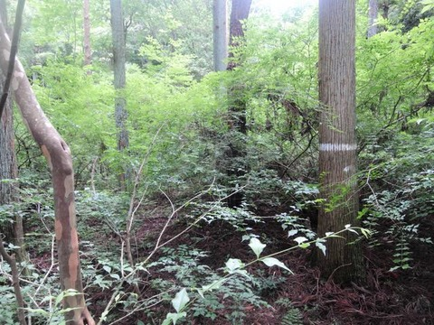 20180612胸高径追跡基準木