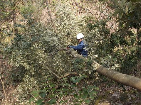 DSCF2068樫の木伐倒
